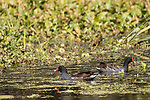Damon, Texas; a pair of Common Moorhens, or Gallinule, forage for food amongst the reeds in the slough