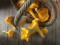 Fresh picked wild  organic chanterelle or girolle Mushrooms (Cantharellus cibarius)