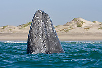 Adult California Gray grayale (Eschrichtius robustus) spy-hopping in Magdalena Bay near Puerto Lopez Mateos on the Pacific Ocean side of the Baja Peninsula, Baja California Sur, Mexico. Each winter thousands of California gray whales migrate from the Bering and Chukchi seas to breed and calf in the warm water lagoons of Baja. This is the furthest sout of the three major such lagoons. Current (2008) population estimates put the California Gray grayale at between 20,000 and 24,000 animals.