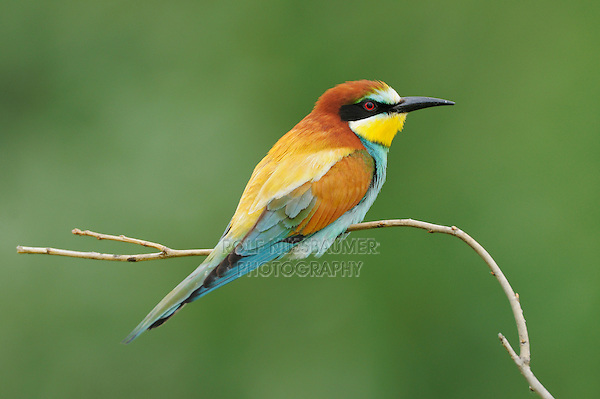 European Bee-eater (Merops apiaster), adult, Hungary, Europe