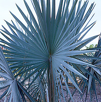 The patio of this house in Mexico is filled with dramatic and architectural plants such as this fan-shaped palm
