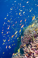 Schools of Anthias swimming over coral reef, Tubbataha, Philippines.
