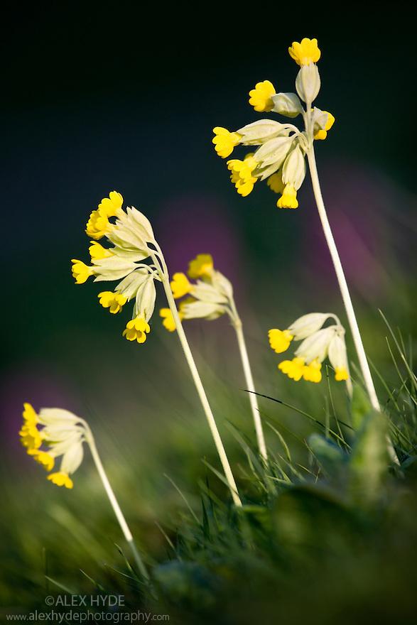 Cowslips {Primula veris} in flower, Peak District National Park, Derbyshire, UK