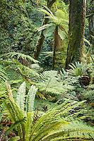 Native forest in Te Urewera on Panekiri Range, Te Urewera, Hawke's Bay, North Island, New Zealand, NZ