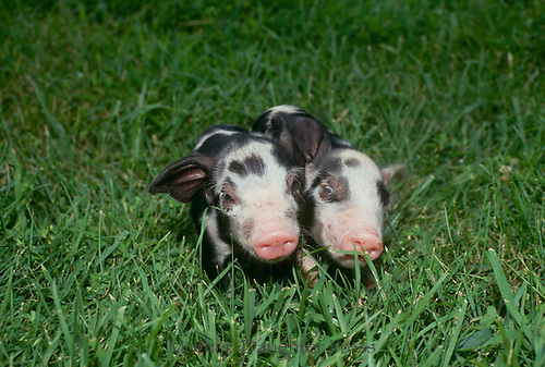 Black and white piglets standing in green grass