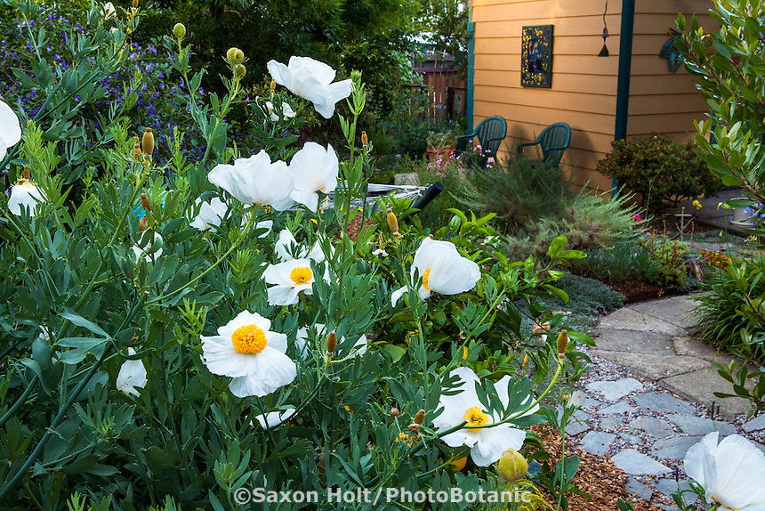 Matilija Poppy, California Tree Poppy (Romneya coulteri) white flowering shrubby perennial in Sibley drought tolerant summer-dry back yard garden, Richmond California
