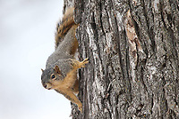 Calls can bring squirrels out of hiding.<br />(Courtesy photo/Arkansas Game and Fish Commission)