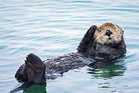 A mature sea otter, Enhydra lutris nereis, is starting to groom and watching the camera @ Moss Landing, Monterey Bay National Marine Sanctuary, Monterey, California, USA, Pacific Ocean