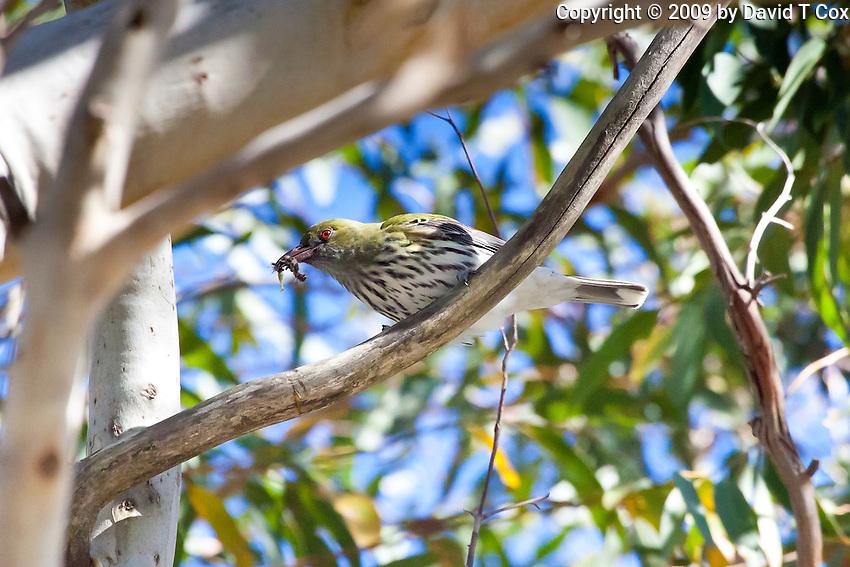 Olive-backed Oriole, Nelson Bay, NSW,  Australia