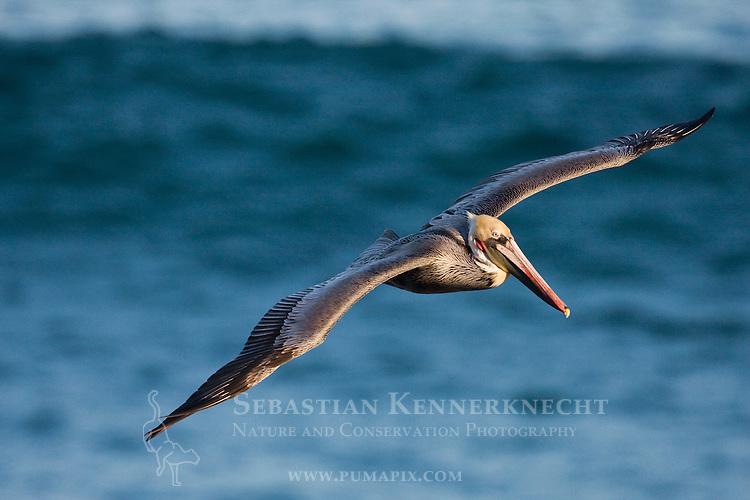 Brown Pelican (Pelecanus occidentalis) flying, La Jolla, San Diego, California