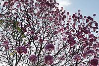 Campinas (SP), 15/06/2021 - Clima-SP - Ipes floridos na Lagoa do Taquaral, em frente ao centro de imunização da Covid-19, em Campinas, nesta terça-feira (15).