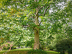 London Planetrees at the Arnold Arboretum in the Jamaica Plain neighborhood, Boston, Massachusetts, USA