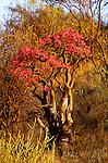 Desert rose, Samburu National Reserve, Kenya
