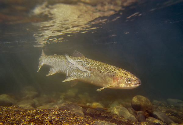 Wild female winter steelhead (Oncorhynchus mykiss) in Pacific Northwest River--on spawning migration from ocean up freshwater stream.  Steelhead are the anadromous form of the rainbow trout which are from the same fish family as salmon.