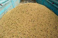 TURKEY, Adana, soybean harvest / TÜRKEI, Adana, Ernte von Sojabohnen