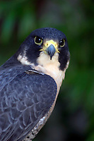 A Peale's Peregrine Falcon (Falco peregrinus peale) at rest