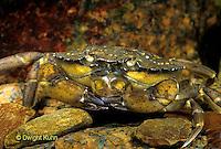1Y34-003z  Green Crab in Tidepool - Carcinus maenus.