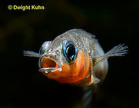 1S14-578z  Male Threespine Stickleback, Mating colors showing bright red belly and blue eyes, close-up of face, Gasterosteus aculeatus,  Hotel Lake British Columbia