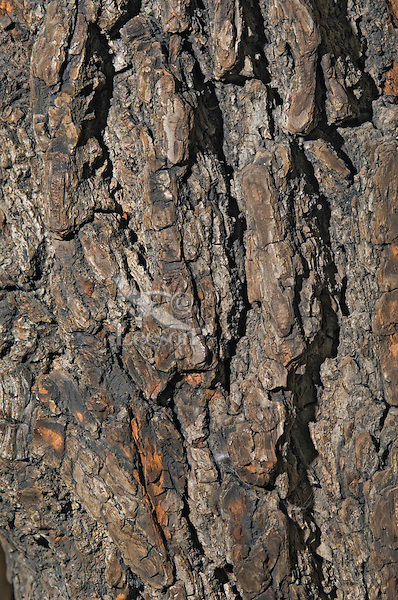 Black Walnut tree (Juglans nigra), close-up of bark. Carolinian Forest. Canada's smallest and most southerly forest. Lake Erie shore, Ontario.