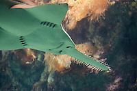 Kleingezahnter Sägefisch, Kleingezahnter Sägerochen, Leichhardts Sägerochen, Pristis microdon, Pristiopsis leichhardti, largetooth sawfish, Leichhardt's sawfish, freshwater sawfish
