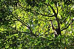 Muller's Bornean Gibbon (Hylobates muelleri) in tree, Tawau Hills Park, Sabah, Borneo, Malaysia