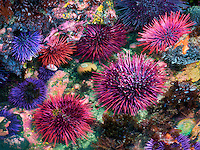 Red and purple sea urchins at extreme minus tide. Yaquina Head Outstanding Natural Area, Oregon