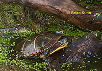 1R13-9116  Painted Turtle - Chrysemys picta, © Brian Kuhn/Dwight Kuhn Photography