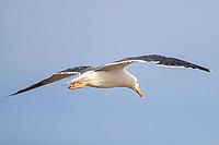 A seagull flies over the beach and estuary La Cruz in Kino viejo, Sonora, Mexico. Gulls Birds, Dolphin gull, Silver gull<br /> (Photo: Luis Gutierrez / NortePhoto.com).<br /> <br /> Una gaviota vuela sobre la playa y estero La Cruz en Kino viejo, Sonora, Mexico. Gulls Birds, Dolphin gull, Silver gull<br /> (Photo: Luis Gutierrez / NortePhoto.com). .<br /> <br /> Gulf of California, Sea of Cortes or Red Sea that is located between the Baja California peninsula, Golfo de California, Mar de Cortes o mar Bermejo que se encuentra entre la península de Baja California