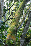 Moss On Tree In Bwindi Impenetrable National Park
