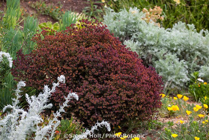 Euphorbia Blackbird in UC Santa Cruz Arboretum and Botanic Garden