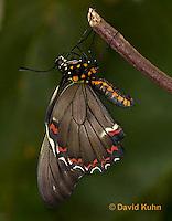1021-0803  Polydamas swallowtail (Life Cycle Series), Battus polydamus  © David Kuhn/Dwight Kuhn Photography.