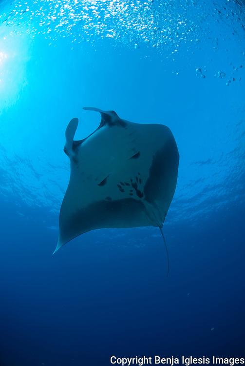 Mntaray swimming at Molokini Maui Hawaii in 70 feet of water.