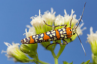 An Ailanthus Webworm Moth (Atteva aurea) perches on White Snakeroot flowers.