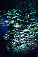 shoal of snappers, Lutjanus sp., Cocos Island, National Park, Natural World Heritage Site, Costa Rica, Pacific Ocean
