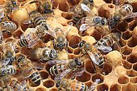 On a wax frame, the males' cells are a bit more voluminous than those of the workers.///Sur un cadre de cire, les cellules de mâles sont un peu plus volumineuses que celles des ouvrières.