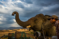 Elephant Pho Khwar and his mahout Kalu Say head to a village to perform at a ceremony. Following the government's ban on raw timber exports, domestic elephant owners started renting out their elephants for festivals and religious ceremonies. Pho Khwar now performs at ceremonies such as Buddhist novitiation, bringing in around 500,000 Kyats per day for his owner. Mahout Kalu Say is paid 5000 Kyats per day, while Pho Khwar, whose market value is around 80 million Kyats, is fed with food worth 50,000 kyats every day.
