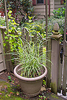 Miscanthus sinensis Little Zebra in pot container planter, ornamental grass striped variegated foliage leaves, green and gold, dwarf smaller version of Zebrinus, by house entrance gate to garden with mixed plantings of golden hops vine Humulus, Verbena bonariensis, aster, Weigela, rhododendron, ornamental annuals, perennials, shrubs, picket fence