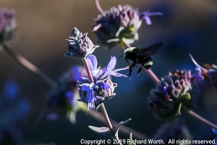 A bumblebee in flight, heading to a purple flower, Cleveland Sage, its wings a blur of motion.