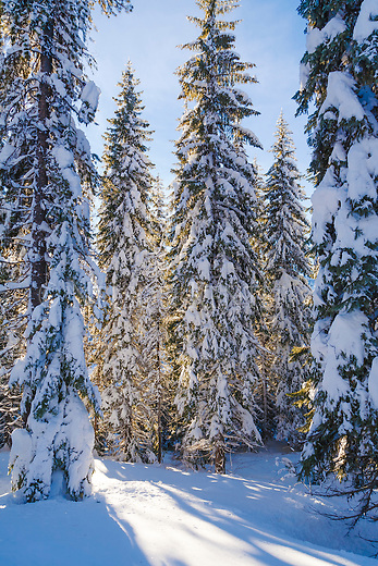 Winter scene in the Lolo National Forest in Montana. Sun shining through trees covered with snow.