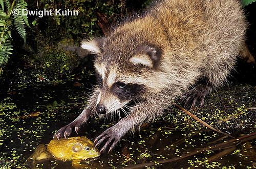 MA25-211z   Raccoon - with frog prey - Procyon lotor