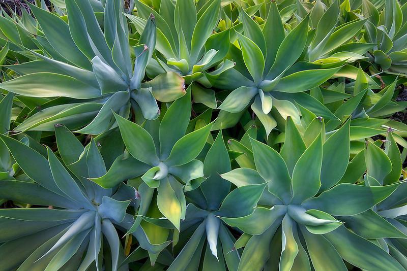 Aloe plants at Moir Gardens. Klahuna Plantation Resort. Kauai, Hawaii