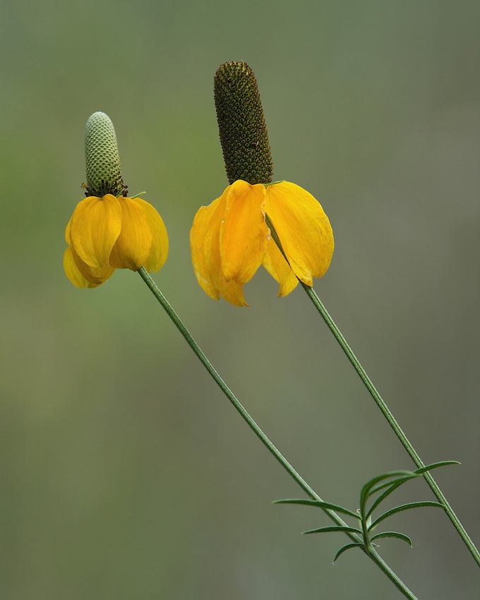 The Mexican Hat wildflower has sombrero-shaped flower heads & is usually 1 1/2 ft. tall but can reach 3 ft. Flower petals range from dark red and yellow, to all red or all yellow.