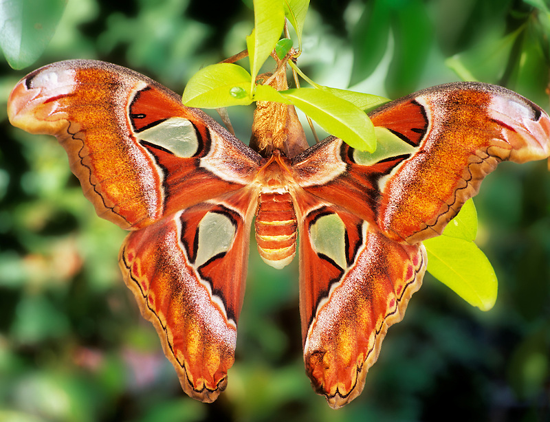 Atlas Moth. Butterfly World, B.C. Canada.