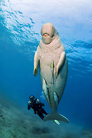 Dugong, Sea Cow, swimming up to the surface to breathe, scuba diver, Egypt, Red Sea, Indian Ocean