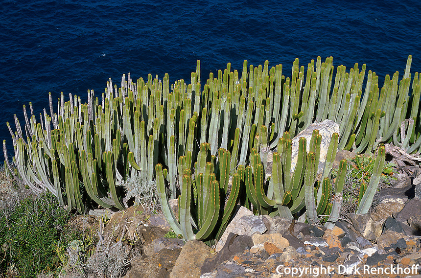 Spanien, Kanarische Inseln, La Palma, Kakteen an der Küste bei Barlovento