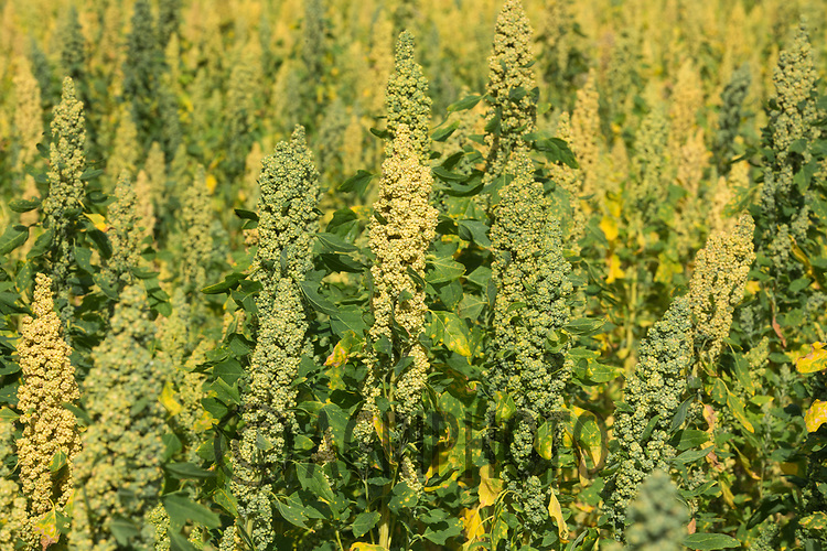 Quinoa growing <br /> Picture Tim Scrivener 07850 303986<br /> ….covering agriculture in the UK….