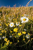 Oxeye Daisy (Leucanthemum vulgare or Chrysanthemum leucanthemum), Birdsfoot Trefoil (Lotus corniculatus) and Other Wildflowers and Grasses, Mt. St. Helens National Volcanic Monument, Washington, US, August 2005