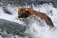 A brown bear snares a salmon at the McNeil River Falls, in Alaska's McNeil River State Game Sanctuary.