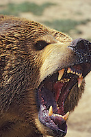 Grizzly bear (Ursus arctos).