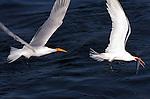 Elegant Terns Competing for Fish, Bolsa Chica Wildlife Refuge, Southern California